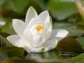 floarea lotus, pura dragoste