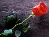 imagine_cu_trandafir