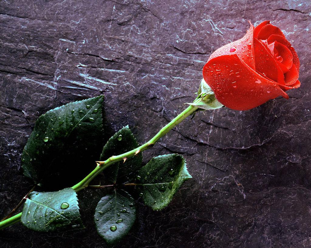 imagine de dragoste cu trandafir